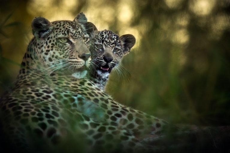 Geigers Camp_Leopard (1)